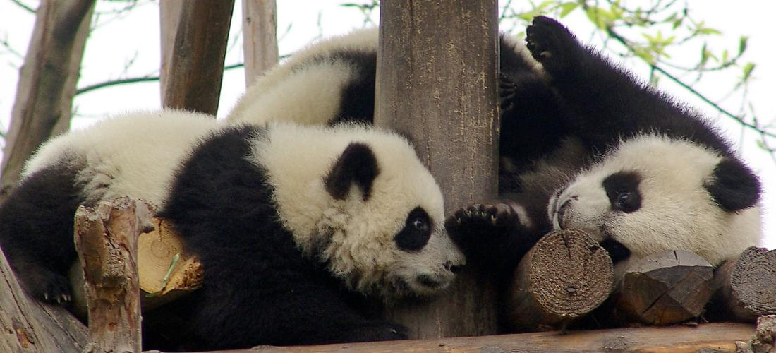See the Giant Pandas of Chengdu