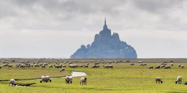 View to Mount St Michel with sheep in Normandy, France